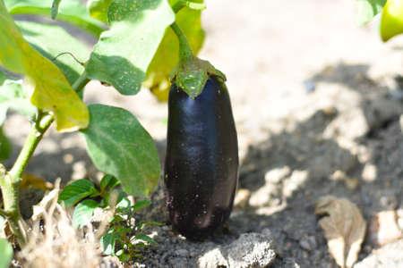 Ripe eggplant growing in the garden Zdjęcie Seryjne