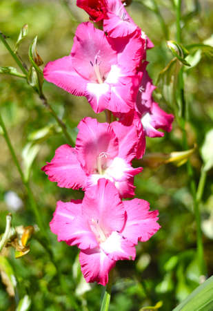 Pink bright gladiolus on a summer day