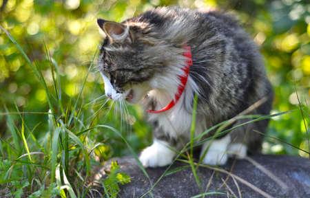Fluffy cat eating grass outside Zdjęcie Seryjne