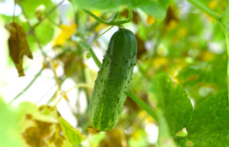 Ripe cucumber growing in the garden