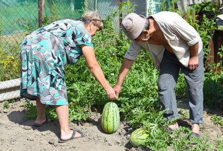 Elderly couple harvesting watermelons in village