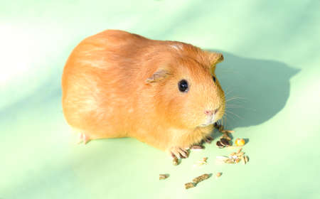 Self guinea pig eating treats Zdjęcie Seryjne