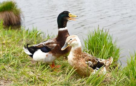 Mallard male and Mallard female ducks resting near a pond