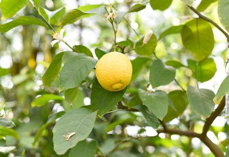 Ripe lemon growing on a branch Zdjęcie Seryjne