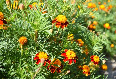many blooming marigold flowers in autumn Zdjęcie Seryjne
