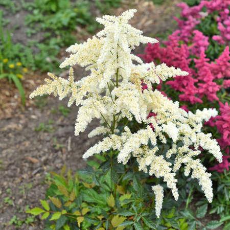 Mont Blank Astilbe flowers (false goat's beard). Russian Far East.