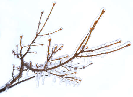 Frosted branches of a tree, covered with ice and icicles on white background
