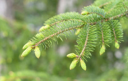 spruce branch with new growing cones