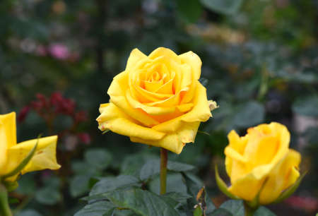 Yellow tea rose with leaves on green background