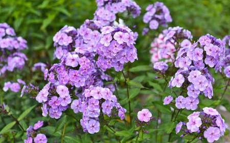 Phlox flowers growing in Russian Far East