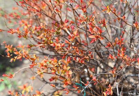 Meadowsweet japanese spirea with orange leaves