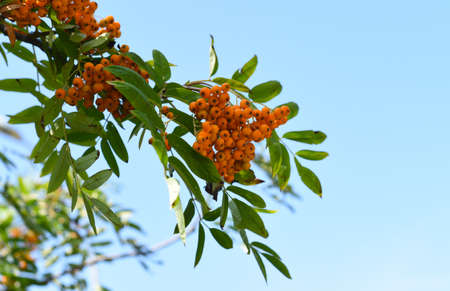 Rowan Amur (Sorbus pohuashanensis) growing in Far East Russia