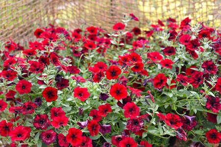 Petunia flowers Potunia Plus Red growing in Russian Far East