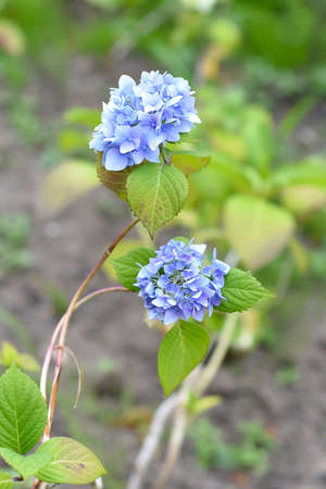 branch of blue hydrangea on a green background