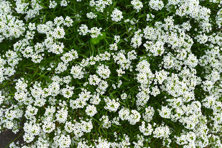 Background made of many little white flowers
