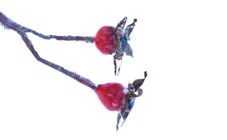 Frozen rosehip berry growing on a branch covered with ice and icicle on a winter day in Russia