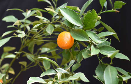 Tangerine fruit growing on a branch against black background