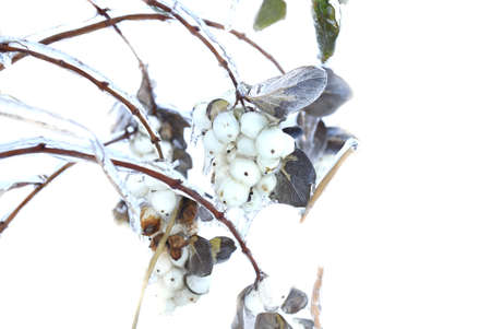 Frozen snowberry covered with ice growing on a branch on snow background. Russia, winter.