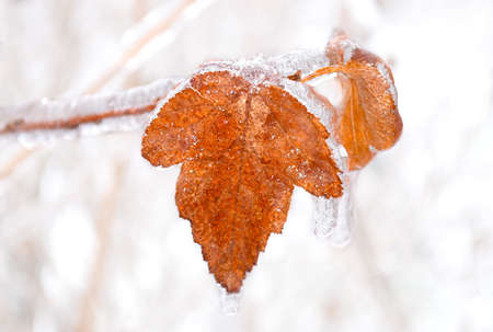 Orange dry leaf growing on a branch covered with ice