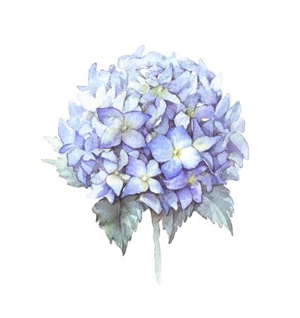 Watercolor blue hydrangea flower. Botanical illustration Stock Photo