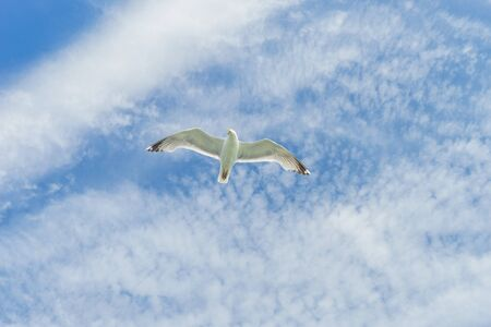 White gull flying Lower New York Bay Banque d'images
