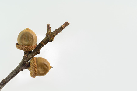 Two acorns of red oak on a branch isolated on the white background.