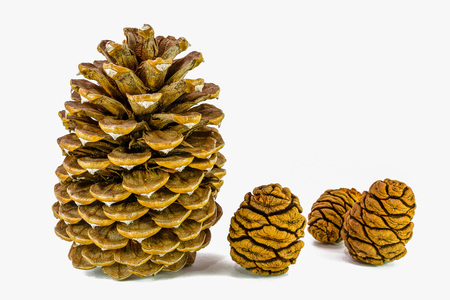 Giant sugar pine cone left and giant sequoia cones isolated on the white background