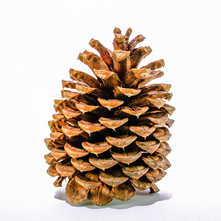 Giant sugar pine cone, California isolated on the white background