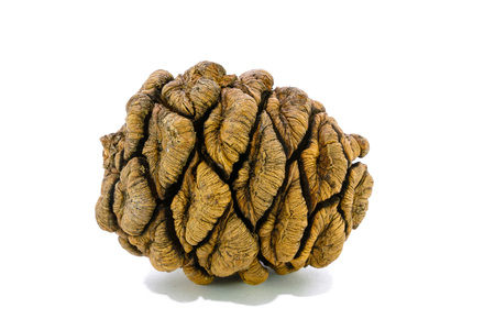 Giant sequoia cone isolated on the white background