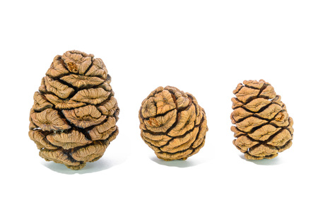 Three giant sequoia cones isolated on the white background