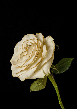 Fading white rose isolated on black background.