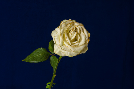 Fading white rose isolated on dark blue background.