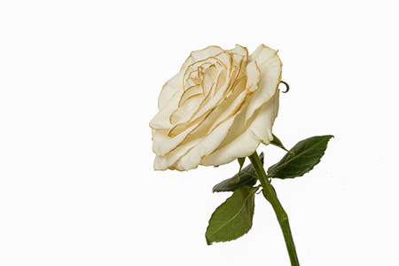 Fading white rose isolated on white background.