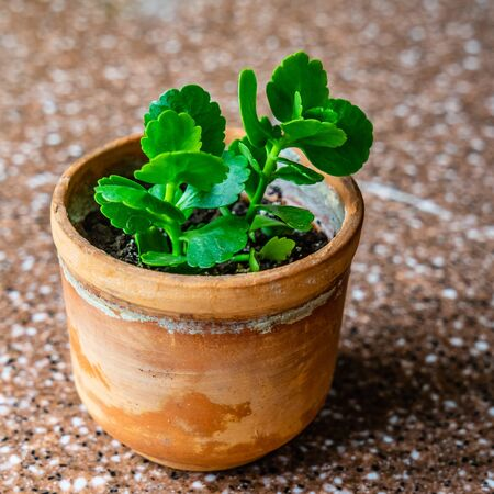 Kalanchoe in brown handmade pot on marble.