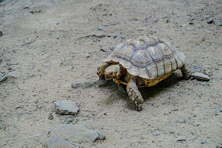 Tartaruga che striscia sulla sabbia con pietre.