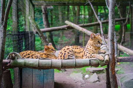 Two serval lying on the bed in park.