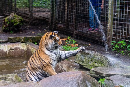 Tiger playing with water from a hose in the park.