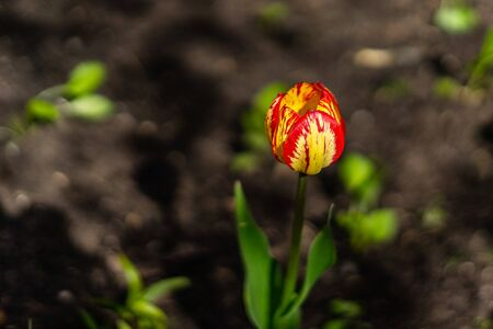 Beautiful red yellow tulip bud. The background is blurred.