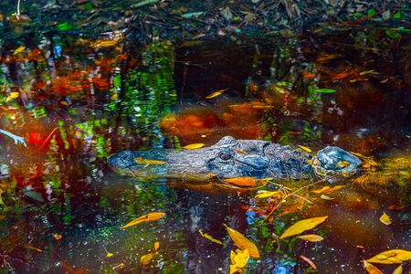Snout and eyes of an alligator swimming in calm water with reflections of trees at the Okefenokee Swamp Park