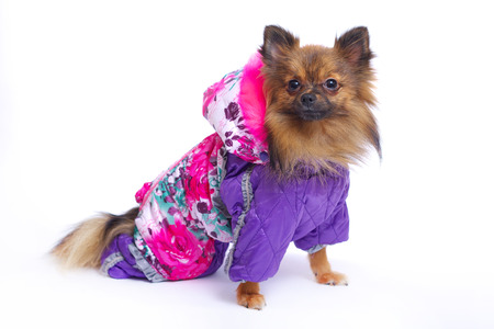 overalls: Sitting German Spitz in the winter overalls