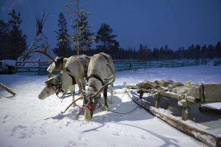 saami: Sami reindeer team in the Sami tent polar night