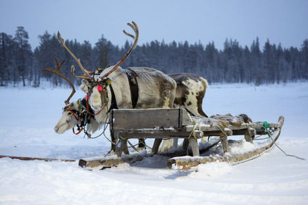 saami: Sami reindeer sled on a snow-covered field