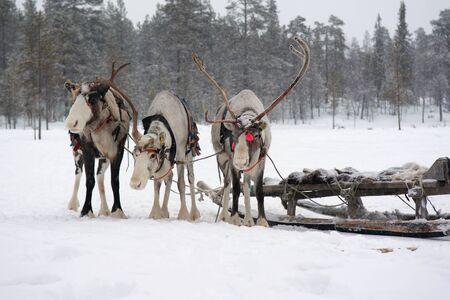saami: Sami reindeer team