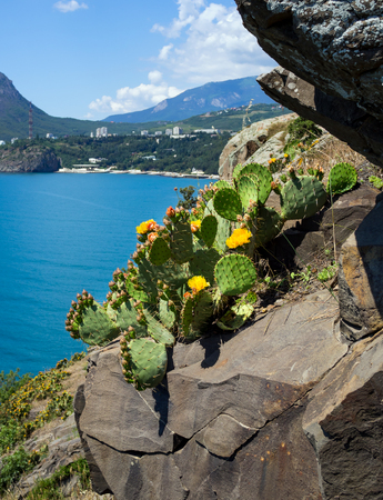 Blooming prickly pear growing on a rocky ledge of the Crimean mountains