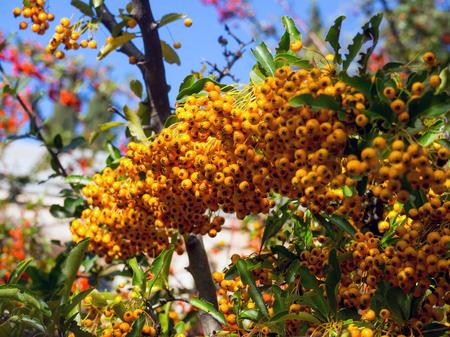 Branch with yellow berries Siberian melkoplodnik Stock Photo