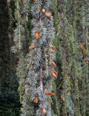 seres vivos: Pequeñas protuberancias en las ramas de un abeto llanto