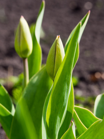 Buds of tulips in the garden in early spring
