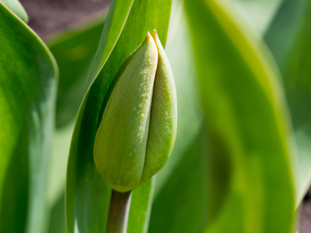 Unblown largest tulip bud In the spring