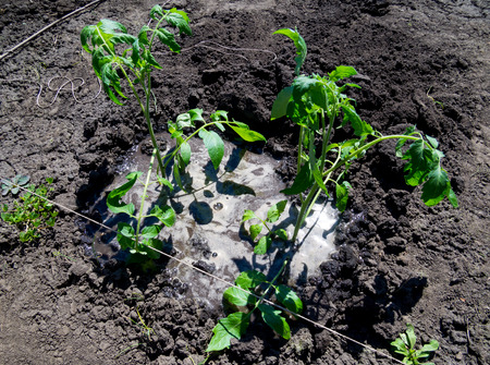 Recently planted tomato bushes are abundantly flooded with water