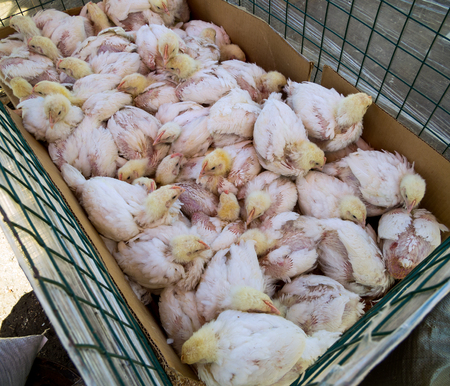 Many hens with no feathers are sitting in the cage 版權商用圖片
